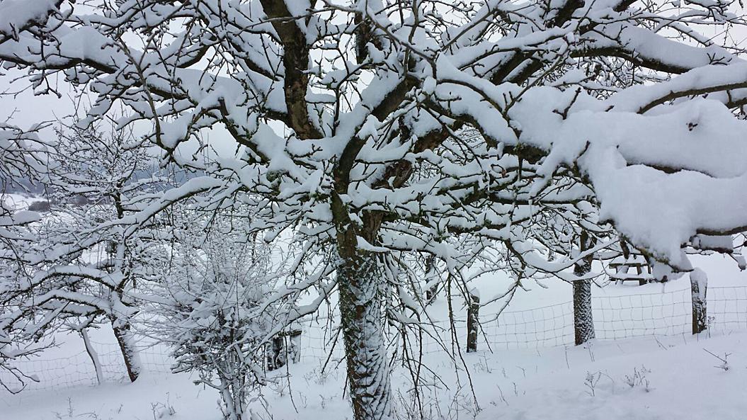 Um 25 cm Schnee gab es in Neuenheerse - eine Streuobstwiese im Winterkleid, 13. Januar 2017