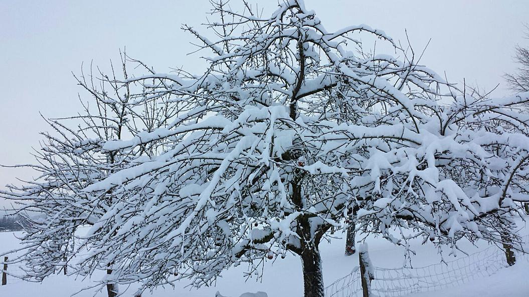 Um 25 cm Schnee gab es in Neuenheerse - ein Obstbaum wartet auf den Frühling, 13. Januar 2017