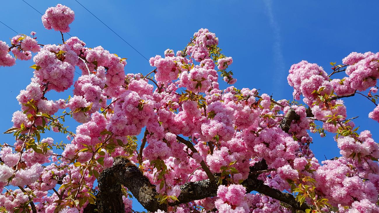 Blüten-Pracht einer japanischen Zierkirsche in Happenweiler, 20. April