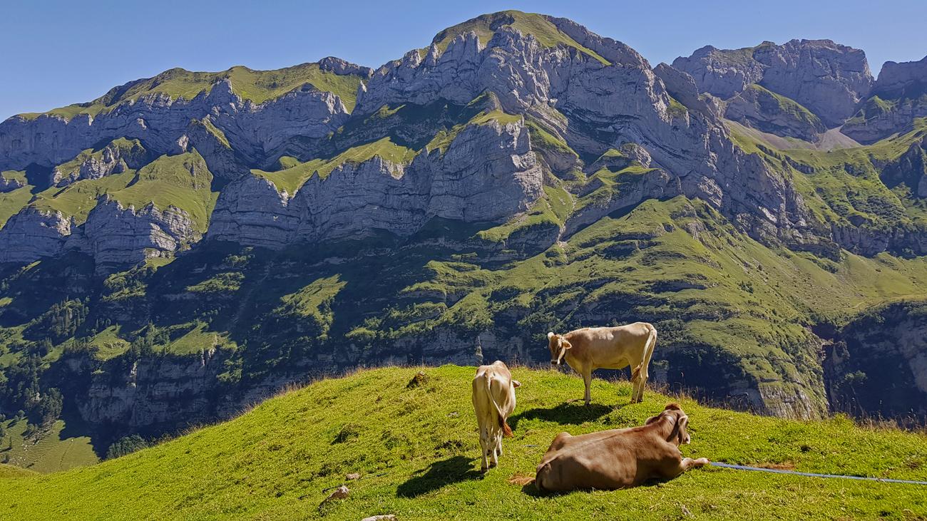 Hier leben glückliche Kühe, 18. August 2019